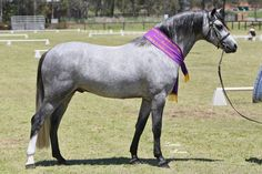 Australian Pony stallion. The Australian Pony is a breed of pony that developed in Australia. It was greatly influenced by the native British breeds, especially the Welsh Pony, as well as some Arabian bloodlines.