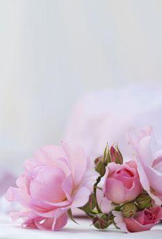 Rose Flower Wallpaper, Flowery Wallpaper, Flower Background Wallpaper, Background Pictures, Flower Backgrounds, Wallpaper Backgrounds, Beautiful Nature Wallpaper, Flower Pictures, Flower Frame