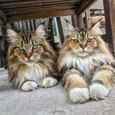 """3,664 Likes, 58 Comments - Sir Leonard Dudley Edds (@lenny_the_mainecoon) on Instagram: """"Watching squirrels with my sis on the catio this Caturday. #caturday #lennythemainecoon…"""""""