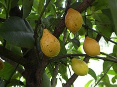 BACUPARI (Garcina brasiliensis e Garcinia gardneriana) // (dez-abr) // Os frutos são adocicados, adstringentes e refrescantes, próprios para consumo in-natura. Até a casca pode ser consumida. A árvore é de belo efeito ornamental .arbusto de 2 a 4 m de altura quando em pleno sol; mais no interior da mata se torna uma arvore com 6 a 20 m de altura.