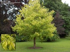 Kelly's Gold Boxelder Maple, Fast grower to 15 to 20 ft. tall and wide.Dramatic Chartruse Foliage Color