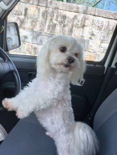 Are we going to the park? #Maltese