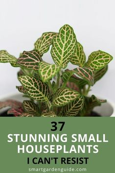 These small houseplants are some of my favorites. It was hard to cut the list down to 27, as there are just so many wonderful little houseplants that can fit in any space. I include houseplants that will thrive in direct sunlight as well as low-light houseplants. Some are a little more difficult to keep happy, but most are easy-care houseplants. Easy Care Houseplants, Easy Care Indoor Plants, Small Indoor Plants, Indoor Flowering Plants, Blooming Plants, Outdoor Plants, House Plant Care, House Plants, Chinese Elm Bonsai