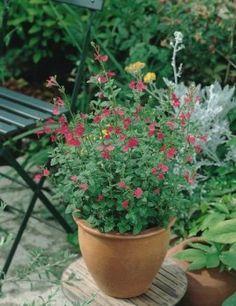 Salvia microphylla / Sauge arbustive