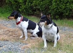 Time passes so quickly!   Mocha & Ti (Daughter 3 yrs & Mother 9 yrs) 2013  #Rat #Terrier #dogs
