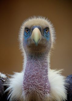 Vulture Portrait by fingolfin75 on Flickr