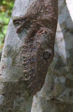 Henkel's leaf-tailed gecko (Uroplatus henkeli), Joffreville by niall corbet