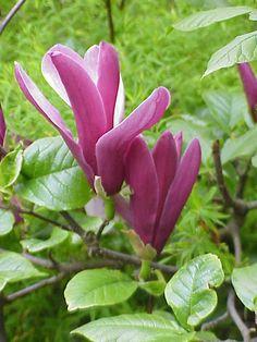 Magnolia liliiflora3 - Magnolien – Wikipedia
