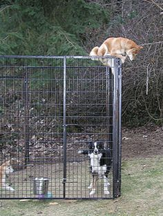 shiba climbing fence. like a boss....makes me feel better that my dogs aren't the only ones that does this