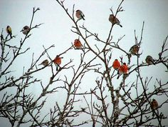 Norway,Bullfinches mostly. by knutk007, via Flickr