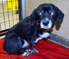 Senior alert: Beagle-mix is sweet, quiet and out of time. Must be rescued/adopted by Monday, Dec. 15, 2014! Please share far and wide!