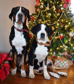 the swissys a useful breed of dog The great swiss mountain dog a breed descended from the great molloser that  swissys are in great demand as pets  they would be useful in many jobs.