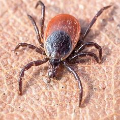 "Thomas Mather, aka ""the Tick Guy,"" has given us a very informative interview regarding the importance of protecting your dog even in the fall and winter. Lyme Disease Tick, University Of Rhode Island, Tick Bite, Ticks, Pet Health, Your Dog, Dog Lovers, Seasons, Guys"