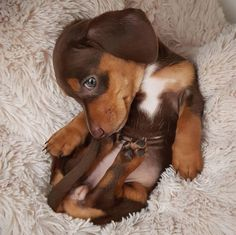 Cute Baby Dogs, Cute Little Puppies, Cute Dogs And Puppies, Cute Little Animals, Cute Funny Animals, Funny Dogs, Funniest Animals, Baby Animals Pictures, Cute Animal Pictures