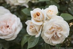 Rose 'madame-alfred-carriere' #rose #rosier