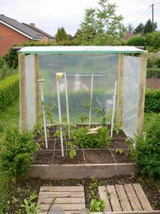 """tomates """"money maker"""", les plus résistantes et productives, protéger de la pluie sinon mildiou garanti"""
