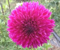 Ed black - This is a novelty dahlia with a slight laciniated tip. �A nice long lasting purple flower.