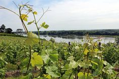 vineyards by the Loire
