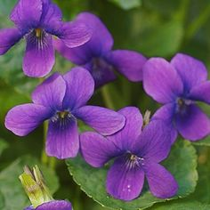 """viola odorata - sweet 'Governor Herrick' -- """"Advertised in Horticulture in 1906 by the originator H.R. Carlton as """"the finest single, the freest bloomer, the greatest moneymaker ever offered for sale."""" This hyperbole was printed during the heyday of violets as cut flowers and corsage flowers. Scented in the morning hours; long, strong stems."""""""