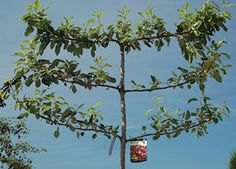 Espalier Form Apple Tree