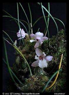 Isabella virginalis. A species orchid (color)
