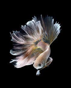 Фотография peacock автор visarute angkatavanich на 500px