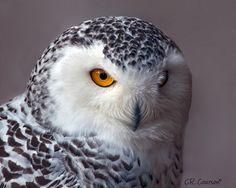 Snowy Owl - so suave Beautiful Owl, Animals Beautiful, Animals And Pets, Cute Animals, Owl Family, Gray Owl, Wise Owl, Snowy Owl, Birds Of Prey