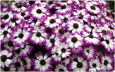 Cineraria Purple Flowers Wallpaper | cineraria purple flowers wallpaper 1080p, cineraria purple flowers wallpaper desktop, cineraria purple flowers wallpaper hd, cineraria purple flowers wallpaper iphone