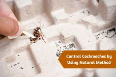 6 Natural Preventive Methods to Control the Cockroach Pests