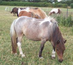 Tobiano Bay Roan Shetland Pony Mare