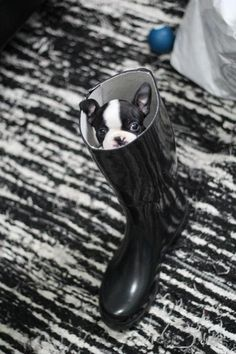 Baby Boston Terrier. Too cute! Wish I had this puppy to visit #ninezerohotel @kimptoninbos #kimptonstyle