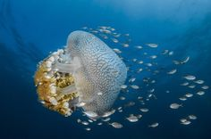 Giant pellagic jelly fish cruises in the water column of Puerto Galera, Philippines