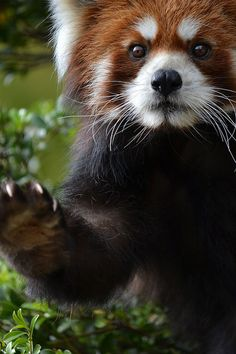 Red pandas are listed as vulnerable on the IUCN Red List of Threatened Species because of habitat loss. There are fewer than adult red pandas. Red pandas are my FAVE animal! Cute Creatures, Beautiful Creatures, Animals Beautiful, Animals And Pets, Baby Animals, Cute Animals, Baby Pandas, Wild Animals, Photo Panda