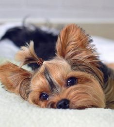 Yorky, Teacup Yorkie, Yorkshire Terrier Puppies, Terrier Dogs, Silky Terrier, Most Popular Dog Breeds, Yorkie Puppy, Dog Rules, French Bulldog Puppies