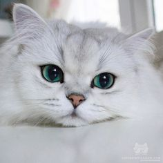 Likes, 12 Comments - Kittens Cute Baby Cats, Cute Cats And Kittens, Cute Baby Animals, Kittens Cutest, Funny Animals, Pretty Cats, Beautiful Cats, Animals Beautiful, Cute Cat Memes