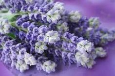 Imagine fields of bright purple and delicate mauve under a deep blue sky, take a deep breath and experience the true scent and colour o. Lavender Fields France, Lavender Blue, Lavender Flowers, Lavander, Clove Bud, Bright Purple, Periwinkle, Samos, Color Inspiration