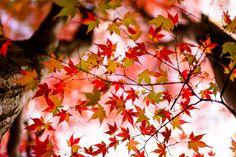 京紅葉 - Autumn foliage in Kyoto