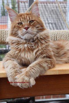 "GINGER LONG MEADOW - Питомник кошек породы Мэйн Кун ""КРАСНЫЙ ДАР"""