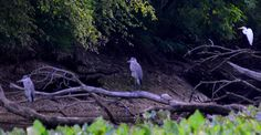 Looks like a party is going on with two blue herons, a white egret and a large turtle, all sharing a fallen tree in the Bristol Basin.