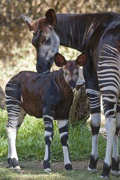 An Okapi mom and calf, so cute! Native to Africa, closest kin is the giraffe.