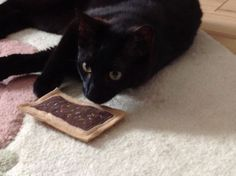 Kit is from Robbinsville, NJ enjoying a Chocolate Brownie Toaster Tart catnip cat toy.