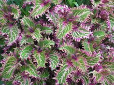 """Peters Wonder"" Coleus"