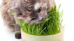 Sevimli dostunu ağzında Red Kit gibi bir ot parçasıyla gördüğünüzde hepiniz şaşırmışsınızdır. Biraz da kaygı duyarak hemen bunu araştırmaya başlarsınız: Kediler neden ot yer? Detaylar ajanimo.com'da.. #ajanimo #ajanbrian #hayvan #animal #kedi #cat