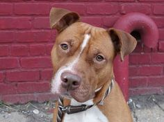 URGENT! Whoever abandoned 12 month old Mikey abandoned a little gem! This cute pup boasts an average safer and a face cuter than a button. Please share Mikey for a loving home today! Brooklyn Center MIKEY - A0987312 *** AVERAGE SAFER *** MALE, TAN, PIT BULL MIX, 1 yr SEIZED - ONHOLDHERE, HOLD FOR LEGAL Reason ABANDON.