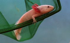 Axolotl   21 Endangered Animals That Are Total Badasses