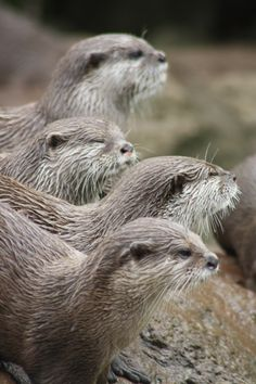 River Otters | Nicki