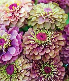 Zinnia, Queen Red Lime by Burpee