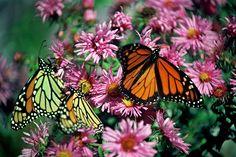 Butterflies, Barre, MA