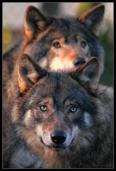 two wolves at dusk