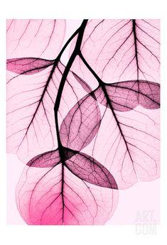 Pink Eucalyptus • Albert Koetsier